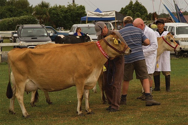 Cow at Westland A & P Show in Hokitika